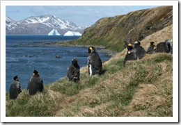 South Georgia king penguins