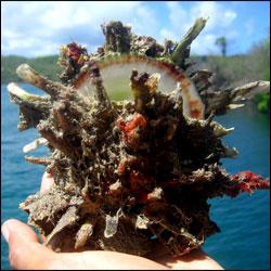 Digitate Thorny Oyster