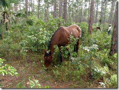 Abaco wild horse