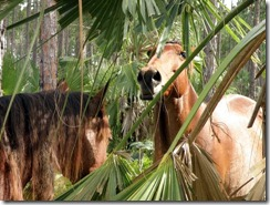 only 6 Abaco wild horses remain from a herd of about 200