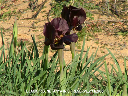 Black Iris, Netanhya