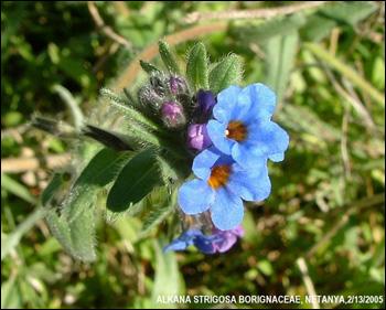 Alkana Strigosa Borignaceae
