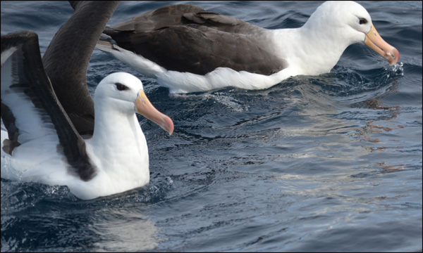 Two black-brow albatross that landed by S/V LISTA LIGHT on passage from Falklands to Uruguay (Photo by Katharine Lowrie)
