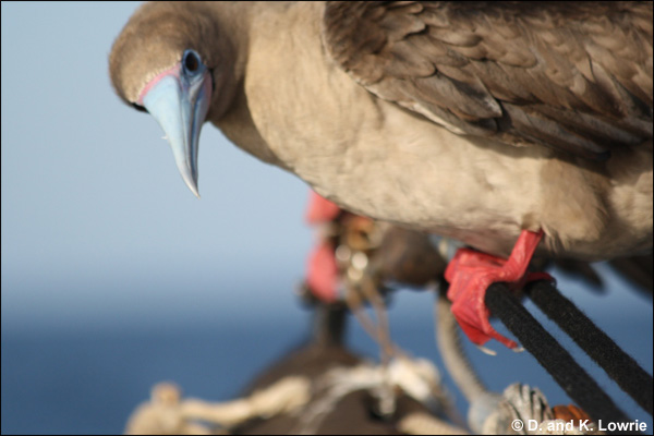 Red-footed booby on the bowsprit, Pacific