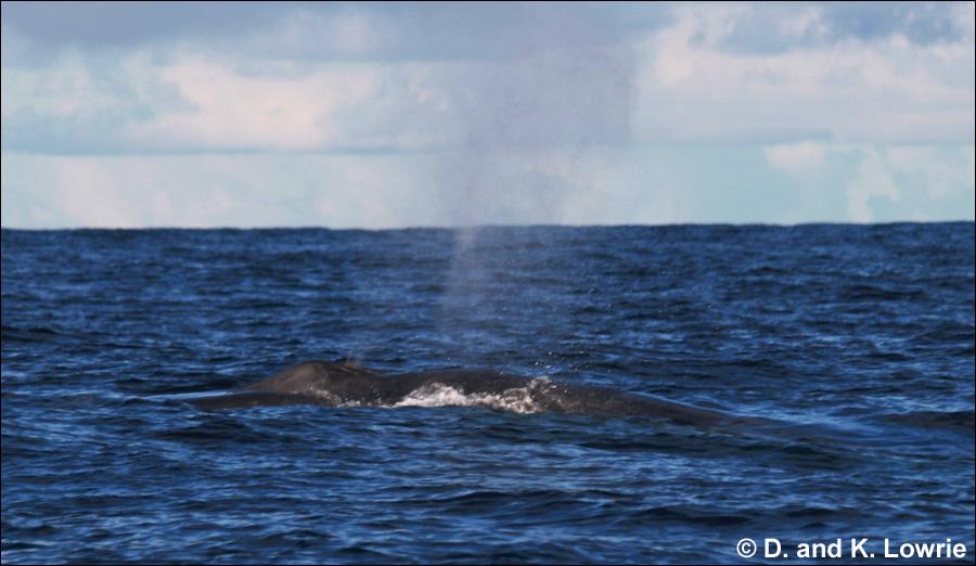 Blue Whale, Pacific Ocean